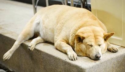 sleeping chubby dog