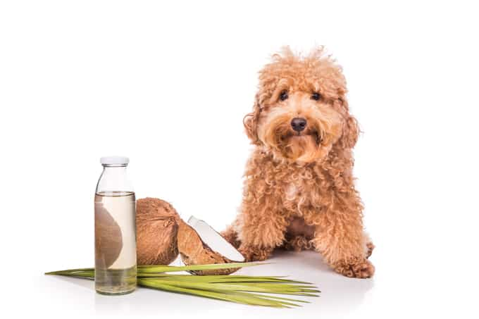 Dogs Can Benefit From Coconut Oil
