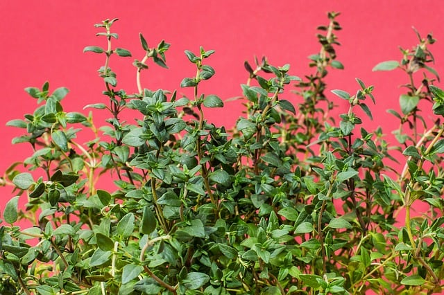 thyme is a Powerful Herb