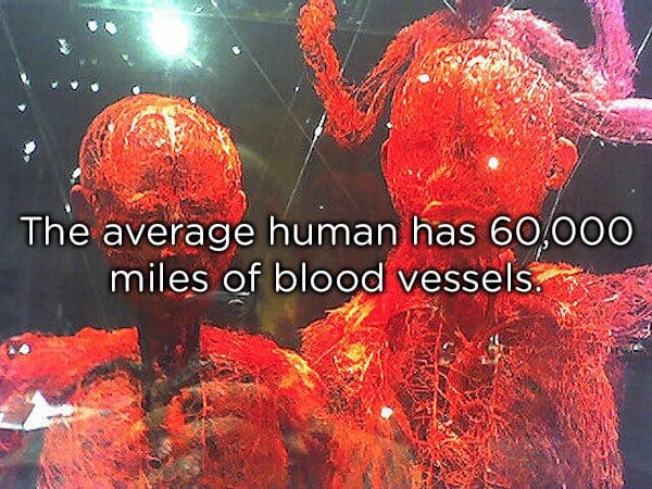 blood vessels of a human