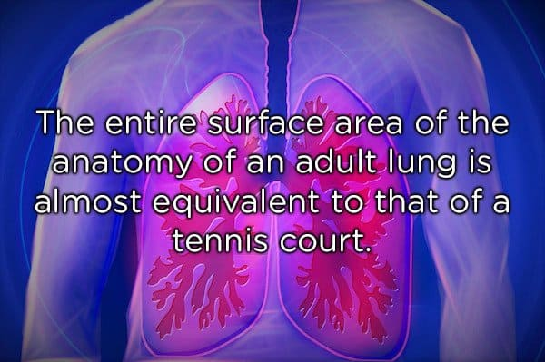 the lungs of human